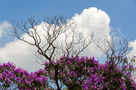 deadwood: flowering trees and deadwood in Brazil Stock Photo