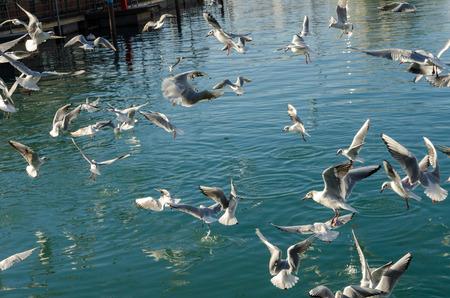 genoa: seagulls flying in the port of Genoa
