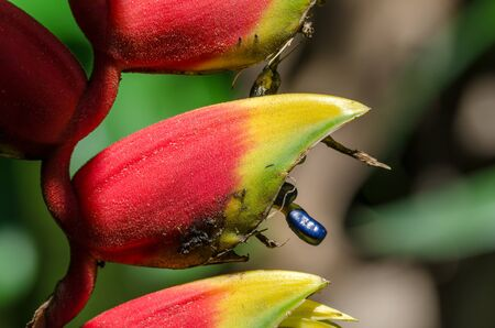 heliconia: Heliconia Bihai with blue flower seed