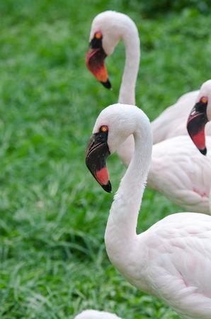 black beak: flamingo with black beak and yellow eyes in Brazil Stock Photo