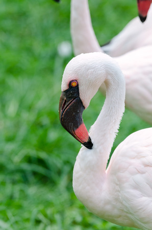 beak: flamingo with black beak and yellow eyes in Brazil Stock Photo