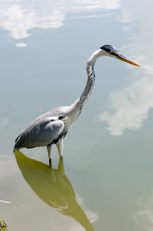 gray herons: herons while hunting in a pond