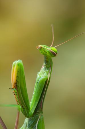 praying mantis on a blade of grass