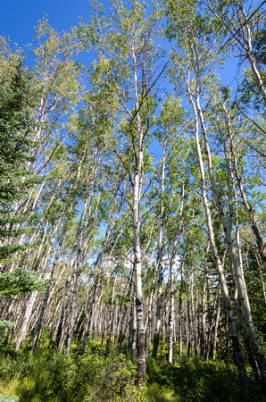 birch trees and blue sky in Jasper in Canada Stock Photo