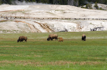 geysers: bison in the area of the geysers in Yellowstone Foto de archivo
