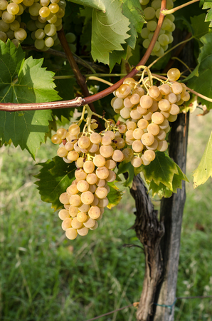 Bunch of grapes hanging from a vine in Emilia Romagna Banque d'images - 122336554
