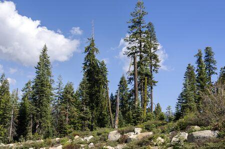 sequoia: sequoia in Sequoia National Park in California