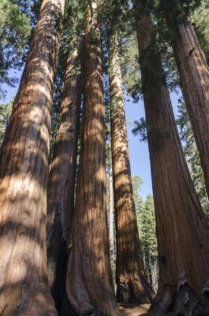 sequoia national park: sequoia in Sequoia National Park in California