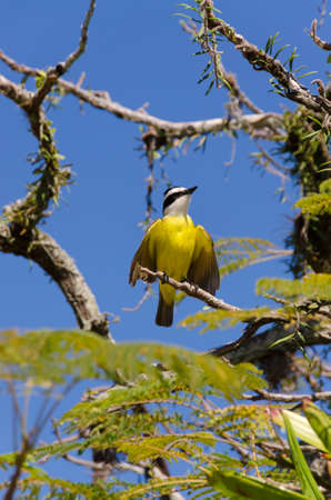 flapping: yellow bird flapping its wings in Paraty in Brazil