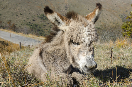 ears donkey: donkey foal with ruffled fur in autumn Stock Photo