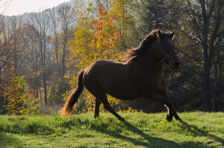 autumn horse: backlit horse running in a field in autumn