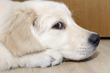 golden retriever puppy: Golden Retriever puppy of three months