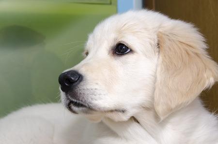 Golden Retriever puppy of three months