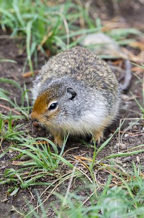 banff: squirrel in Banff in Canada