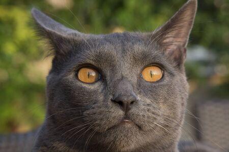 closeup of a gray cat breed Chartreux