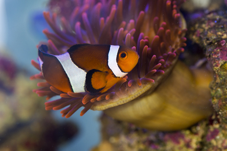 clown fish: clown fish in between the tentacles of a sea anemone