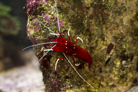 Red shrimp in coral reef