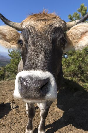 cow in the Ligurian countryside