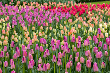 Tulips landscape in Holland