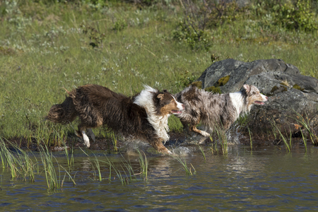 Two australian shepherd dogs running in the water of a lake