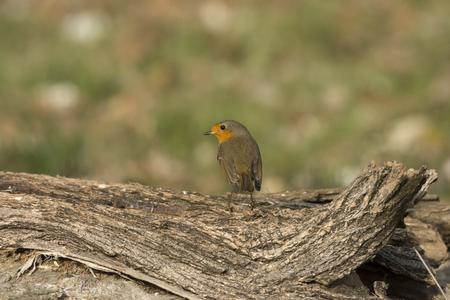 buzzard bird in Cisliano in Italy 版權商用圖片