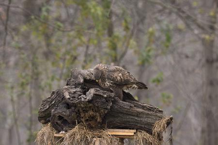 buzzard bird in Cisliano in Italy Stock Photo