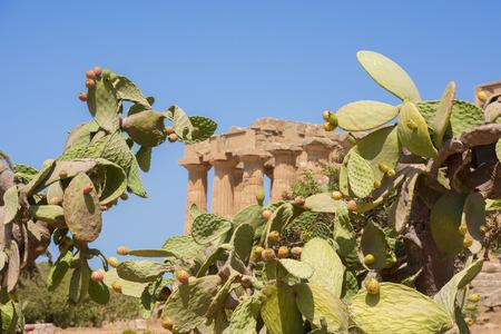 ripe prickly pears in Agrigento in Sicily
