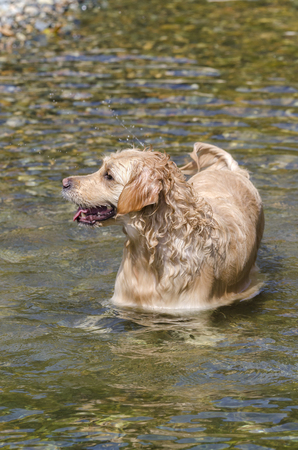 golden retriever running in the water of a lake