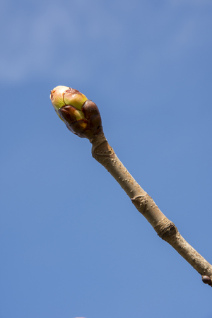 branches with buds in the spring season