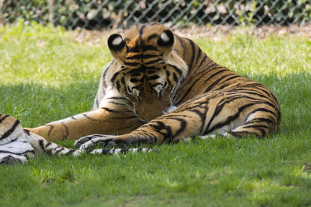 tiger on the grass in a safari zoo in Italy