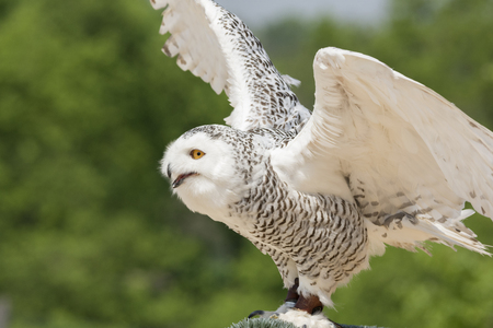 Snowy owl during a prey show in Italy Stockfoto