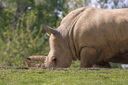 white rhino in a zoo in Italy