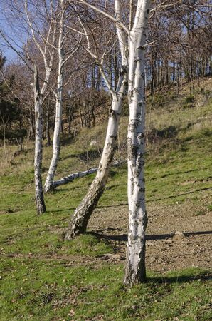 countryside landscape with birches in Italy