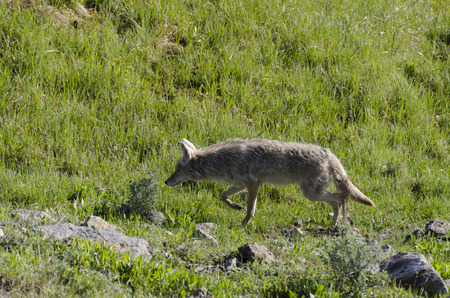 Coyote running on the grass in Yellowstone National Park, Wyoming