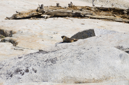 marmot in Yosemite National Park in California
