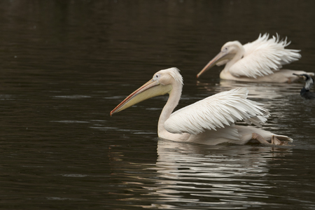 pelican reflected in the water of a river in Italy 免版税图像