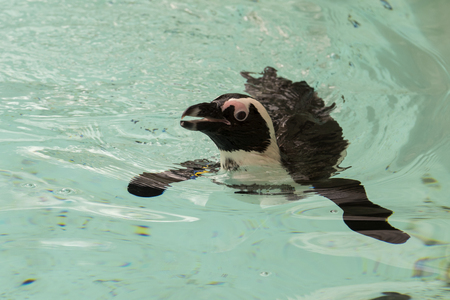 african penguin in a zoo in italy