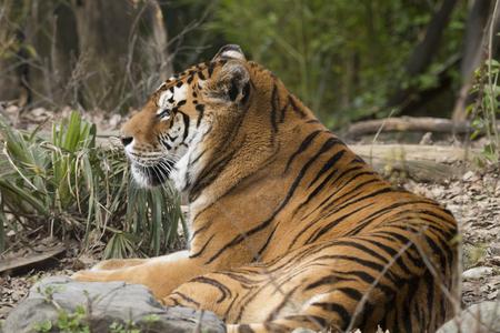 Tigre descansando en un zoológico en Italia Foto de archivo