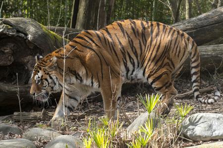 Tigre descansando en un zoológico en Italia