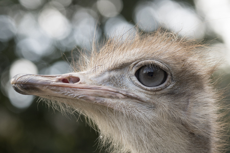 ostrich in a zoo in italy 版權商用圖片