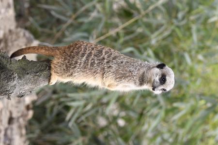 meerkats resting in a zoo in italy