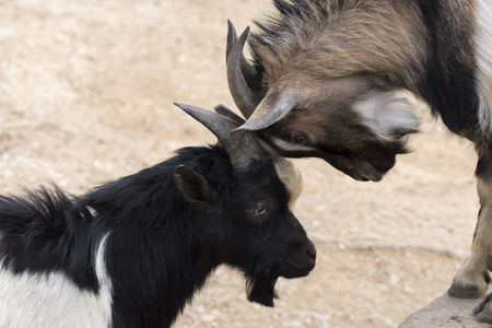 goats fighting with horns in Italy