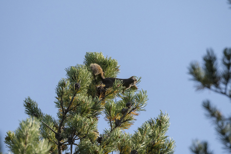 squirrel that throws a pine cone to defend itself in Yellowstone National Park in united states of america