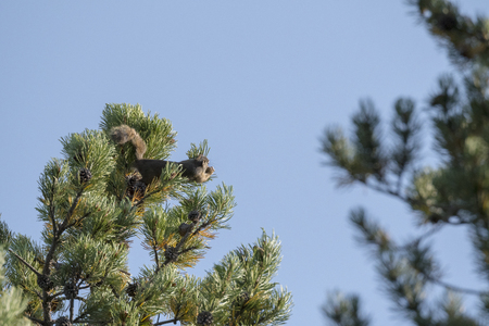 squirrel that throws a pine cone to defend itself in Yellowstone National Park in united states of america 写真素材 - 121007912