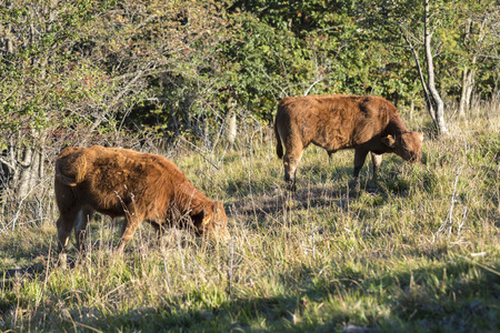 limousine cow grazing in the mountains of Liguria