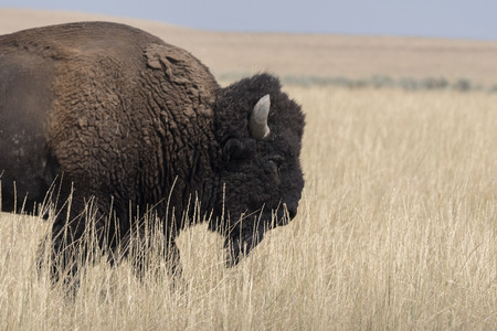 bison change the fur in Antelope island state park in Utah