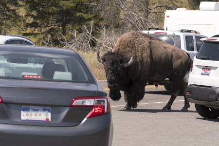 bison walking on the yellowstone asphalt roads in Yellowstone National Park in Wyoming 新聞圖片
