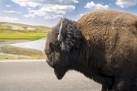 bison walking on the yellowstone asphalt roads in Yellowstone National Park in Wyoming Stock Photo