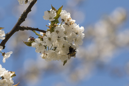 insects that pollinate a cherry tree in bloom in spring in Italy
