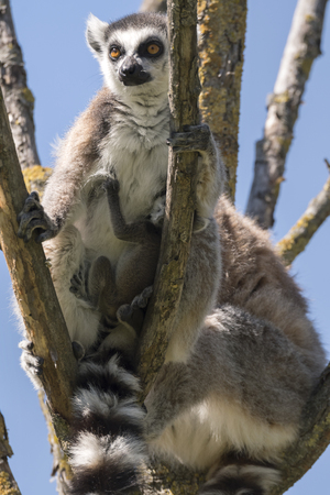 Lemur pair with puppy hanging from the belly on a tree 版權商用圖片